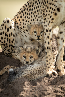 Two cubs lie on mound under cheetah