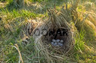 Mallards nest, Clutch of nine white eggs