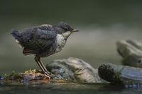 im Lichtspot... Wasseramsel *Cinclus cinclus*, frisch ausgeflogener Jungvogel