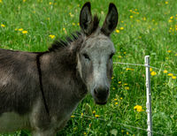Donkey restingin the green meadow