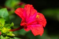 Four o'clock flower macro shot