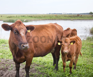 Cattle in a pasture on the river Bank