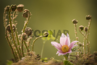 Pasqueflower with ferns in the background