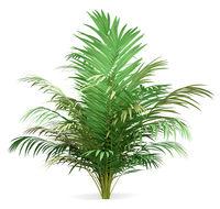 golden cane palm tree isolated on white background. 3d illustration