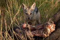 Black-backed jackal crouches by carcase in grass