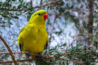Brightly yellow Australian wavy parrot