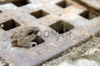 mouse peeking out of the canal