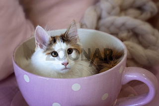 Norwegian Forest Kitten Sitting In A Tea Cup