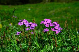 Mehlprimel, Primula farinosa