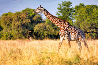 Giraffe im South Luangwa Nationalpark, Sambia, (Giraffa camelopardalis)  | Giraffe at South Luangwa National Park, Zambia, (Giraffa camelopardalis)