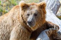 big Himalayan brown bear