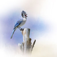 Blue Jay bird perched