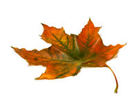 Autumnal multicolor maple-leaf on white