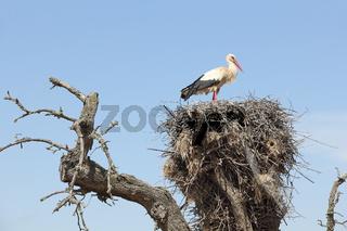 Weißstorch nistet auf einem toten Baum