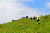 Cows in France