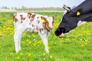 Head of mother cow near newborn calf in meadow