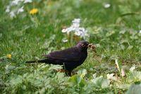 Blackbird foraging