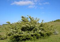 grossfruechtiger Weissdorn ( Crataegus macrocarpa).jpg