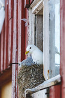 Black legged kittiwake nesting at a house window
