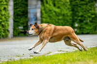 Free-running dog runs in the park