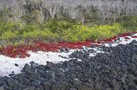 Küstenvegetation mit rotem Carpetweed (Sesuvium edmonstonei)