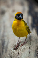 Masked weaver bird on log looking angry