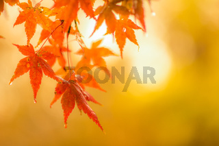 autumnal background, slightly defocused red marple leaves with water drops