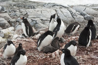 mixed Gentoo Penguin and Adelie penguins colony on the Antarctic island during the nesting period