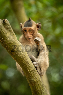 Baby long-tailed macaque sits on green branch