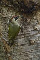 am Eingang zur Bruthöhle... Grünspecht * Picus viridis *