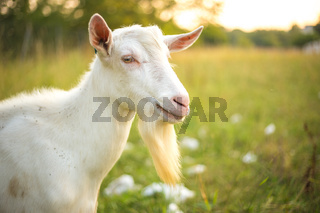 Young white goat with beard. Farm animal on a green grass background.