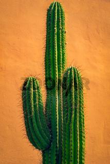 Tall Green Cactus Against Terracotta Wall