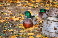 Duck Resting on the Ground