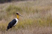 Lesser adjutant Stork, Leptoptilos javanicus . Bandhavgarh Tiger Reserve, Madhya Pradesh, India