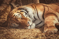 Tiger Sleeps on the Hay