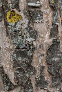 spröde und rissige Rinde eines Apfelbaumes mit Flechten - Hintergrund