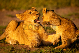 Close-up of lion cubs fighting in grass