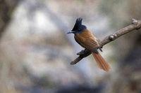 Indian paradise flycatcher, Terpsiphone paradisi, Sinhagad valley, Pune district, Maharashtra, India.