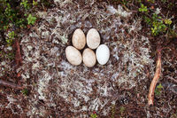 Forest-breeding bean goose nest