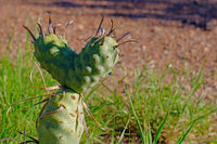 Green cactus in shape the shape of a heart, Argentina