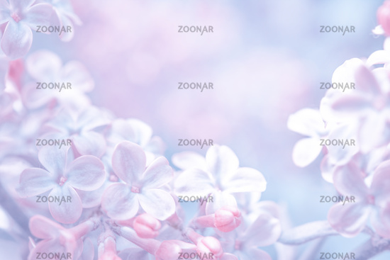 Beautiful purple lilac flowers blossom branch background. Soft focus. Greeting gift card template. Pastel toned image. Nature abstract. Copy space