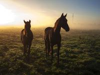 zwei Pferde im Sonnenaufgang auf einer Weide
