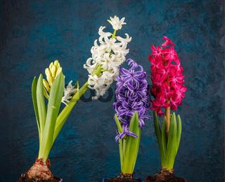 Set of hyacinth flower