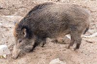 Wildschwein im Tierpark