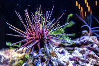 Colorful sea urchin.