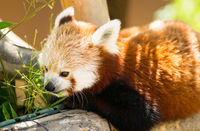 Red Panda Pulls Leaves in Closer to Feed On