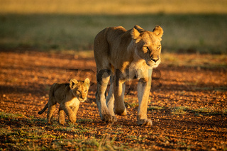 Lioness walking along gravel airstrip by cub