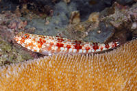 Redmarbled Lizardfish, Synodus rubromarmoratus