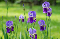 Violet flower iris in the garden. Flower in the garden. Spring flower iris shot in clear sun on green background of natural grass in iris garden.
