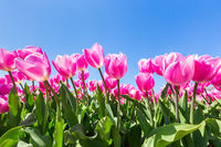 Pink tulips flowers with blue sky
